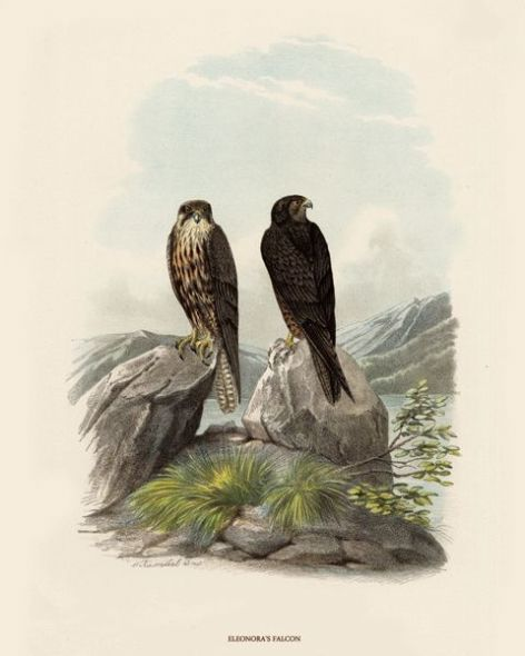 Fine Art Print of the Eleonora's Falcon by O V Riesenthal (1876)